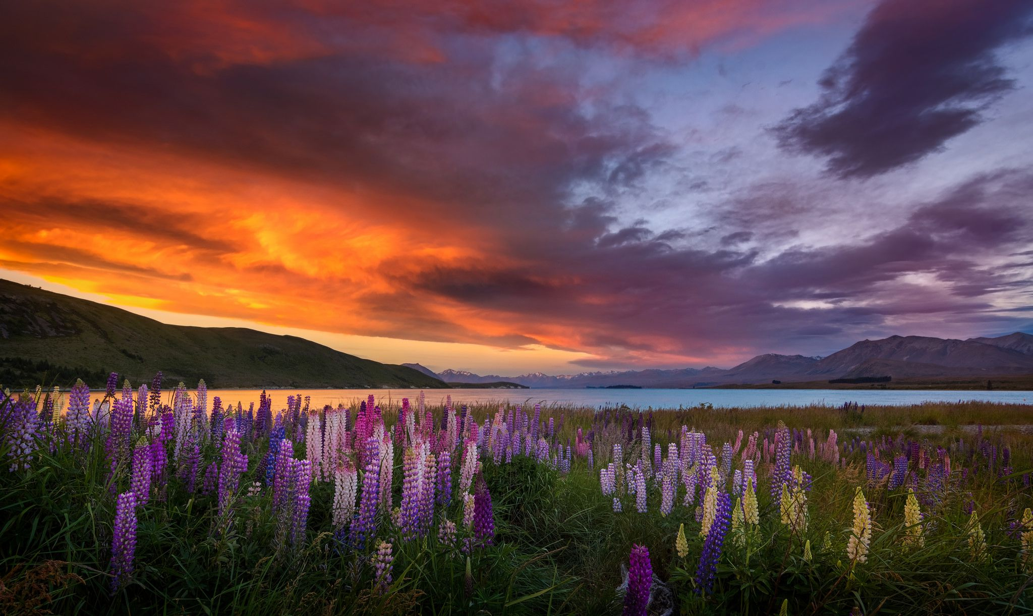 lupins field at sunset