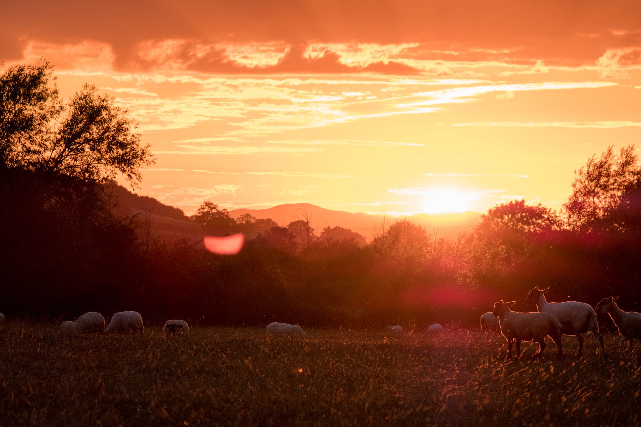 morning sheeps at dawn