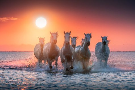 whire horses at dawn