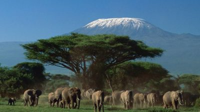 13 elephants under big tree near Kilimanjaro mountain