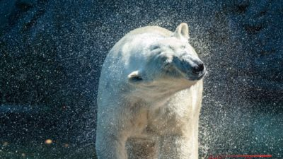 Polar bear Shake it Baby