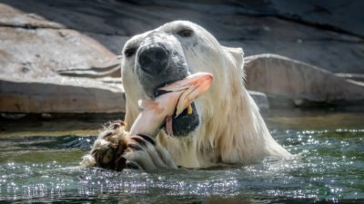 13 photos about Polar Bears