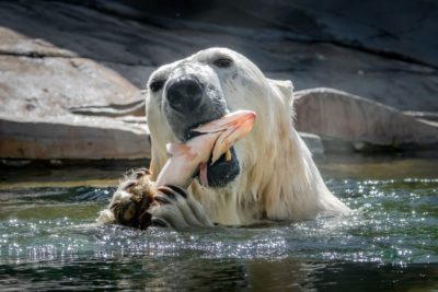 Polar bear and fresh fish