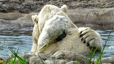 Polar bear and those paws