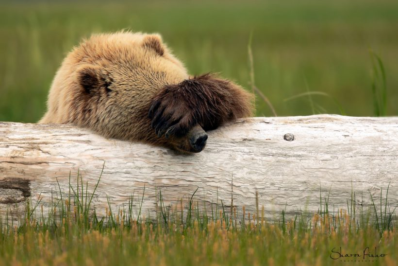 Shy brown bear