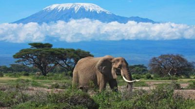 a big elephant walks around National Park near mount Kilimanjaro