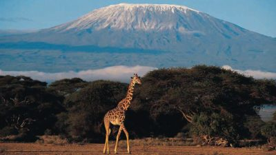 big giraffe under mt Kilimanjaro