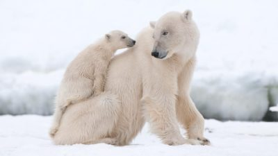 cub of polar bear plays with her mom
