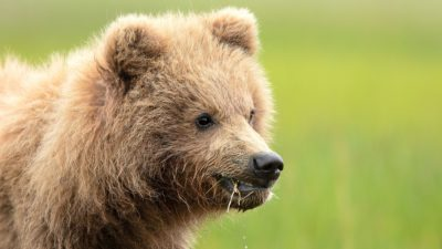 cute brown bear cub