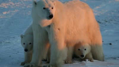 old female polar bear with her cubs