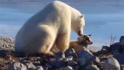 polar bear with his friend do