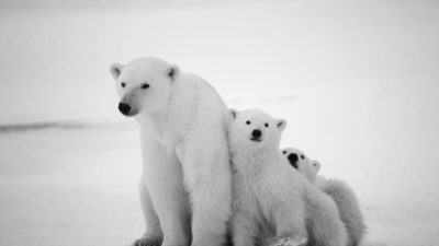 three pretty young polar bears