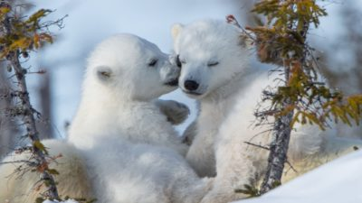 two beautiful polar bear cubs
