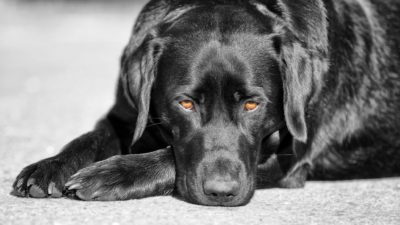 Black Labrador Retriever named Bichou – by Uwe Kast