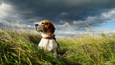 Beagle named Chester – by Adrian Stoica