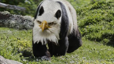(Photoshop) Panda + Eagle = Pandeagl?