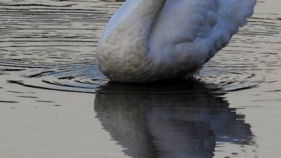Mute Swan, Reflection, Animal