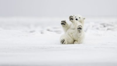 Funny Polar Bear, Cub, Wildlife, Alaska