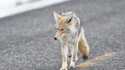 Coyote, Wild animal, Predator