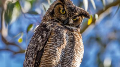 Funny Owl (Great Horned Owl)