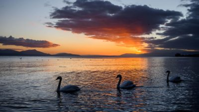 3 swans in the lake, At sunset, Geneva lake, Switzerland