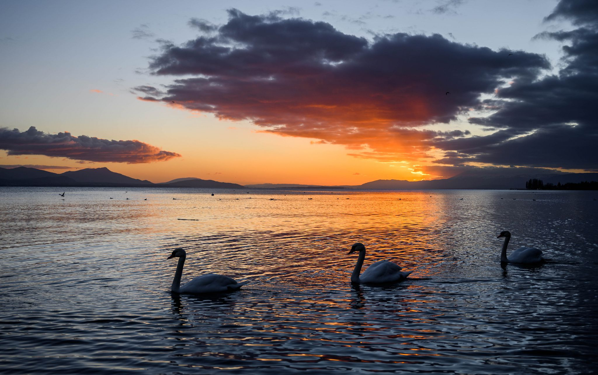 3 swans in the lake