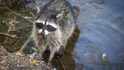 Young raccoon, bathes in the lake