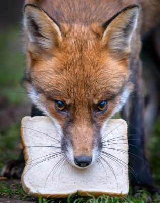 fox and piece of bread